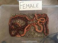 7 Corn Snakes (Male and Female)