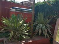 Fully grown yucca plant