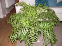 Large Palm House Plant