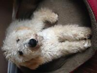 Need to rehome 9 month old goldendoodle