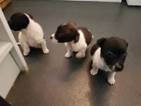 Lovely jack Russel puppies for sale. 8 weeks old.