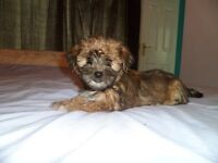 yorkie cross lhaso apso pups micro chipped