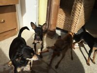 Puppies of Rare Russian Russkiy Toy Terrier
