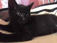 Male kittens for sale ragdoll cross