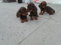 miniture dachshund puppies puppy pups choclate and tan
