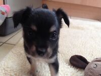 Small, adorable Chihuahua, 1/4 Papillon puppies for sale
