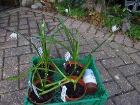 Leucojum snowdrop type plants
