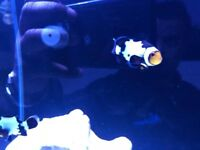 Pair of black ice clown Fish marine salt water Aquariums