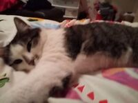 Female grey and white tabby. cat free to good home due to time wasters. 4ys. old. Very oving