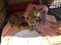 2 boy chihuahua puppies 7 weeks old