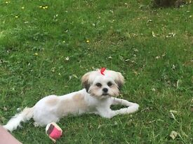 10 month old shih tzu pup