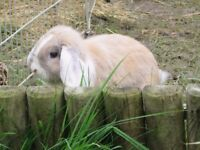 Vaccinated male mini lop