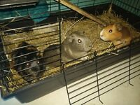 guinea pig girls and cage