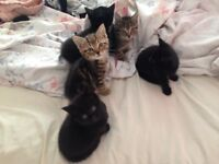 5 beautiful fun loving kittens 2 tabby and 3 black available