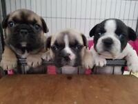 *Super Cute* 2 Male KC French Bulldog Puppies