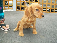 Cocker Spaniel Girl Puppy for sale