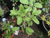A sage plant in a 15 cm pot