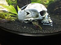Kribensis community fish