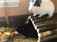 2 young guinea pigs
