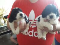 For sale 6beautiful cockerpoo puppies