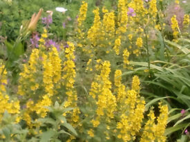 3 x Lysimmachia punctata yellow spires of flowers in Spring/ early Summer