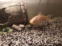 (free)Gold fish