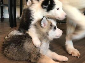 Siberian Husky X Alaskan Malamute puppies, Basingstoke