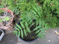 6 Garden Plants Inc Rhus, Fig, Phormium,Yucca Weymouth