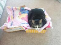 3 year old fixed female tabby