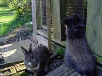 2 friendly rabbits for sale