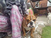Kc reg english bulldog female