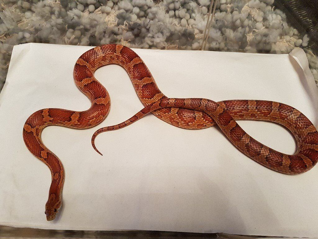 Adult Female Carolina Corn Snake 3 years old