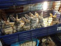 8 weeks old babies rabbits hand reared