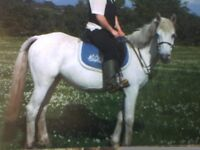 13.3hh riding mare