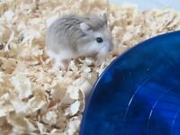 3 young roborovski hamsters