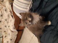 Maincoon/russian blue mixed litter of kittens