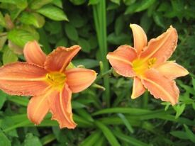 DAY LILY - LARGE ORANGE FLOWER