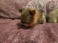 Lost guinea pig