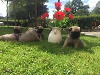 BEAUTIFUL KC REGISTERED PUG PUPPIES - 2 BITCHES, 5 BOYS