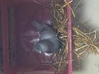 Male pigeon for sale
