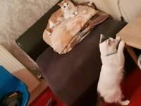 2 year Male bereedable ragdoll cat