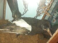 Taxidermy Magpie bird in glass case