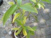 Plant for sale- a Nectarine plant