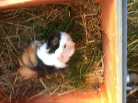 Guinea pig Boar