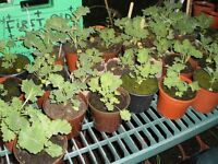 ORGANIC VEGETABLE PLANT SALE. 2-3 PLANTS PER POT. FREE DELIVERY...