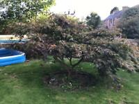 Mature acer tree for sale