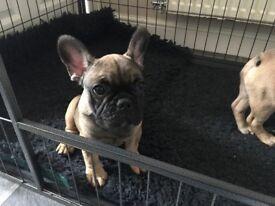 French bulldog 16 week puppie kc reg