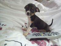 tiny chihuahua puppy