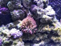 Large Bubble Tips Anemone