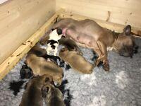 French bulldog/ Chihuahua Puppies
